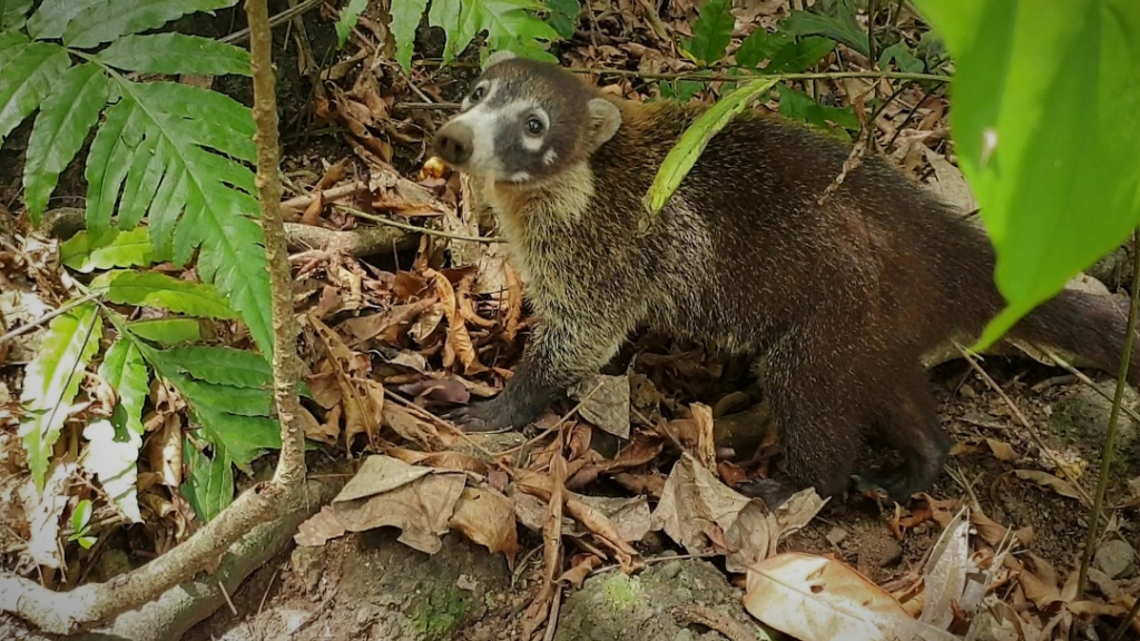 costa rica corcovado white nose coatis
