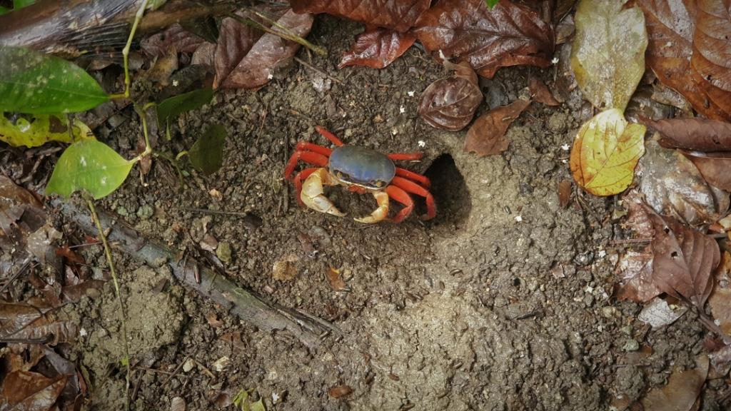costa-rica crab