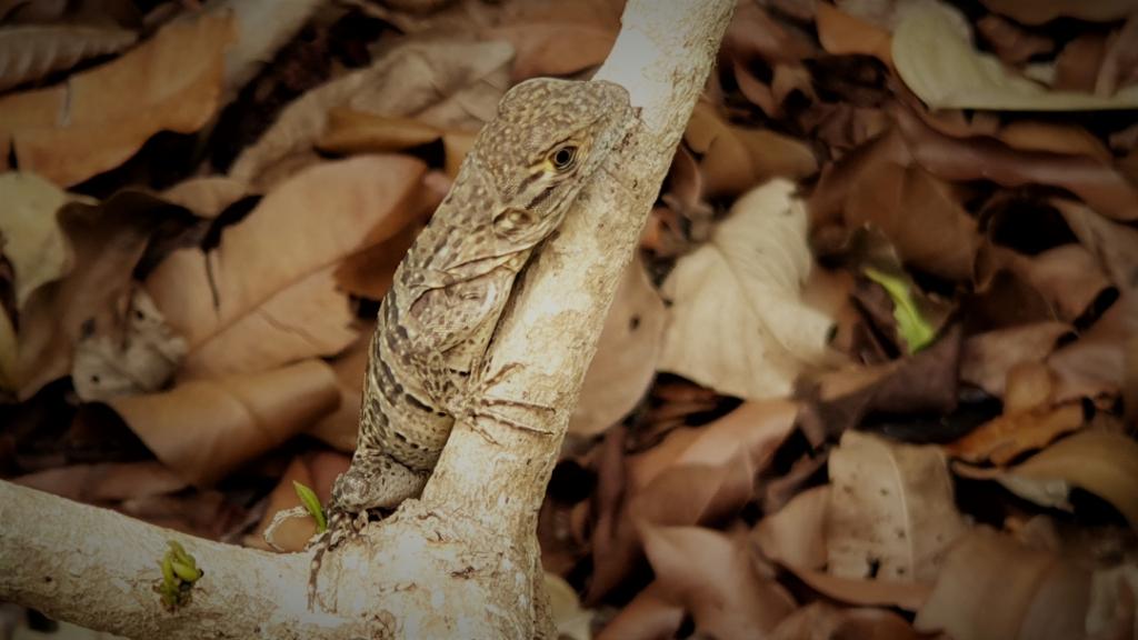 costa-rica lizard manuel antonio