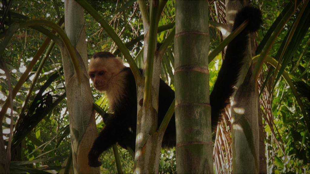 costa-rica monkey