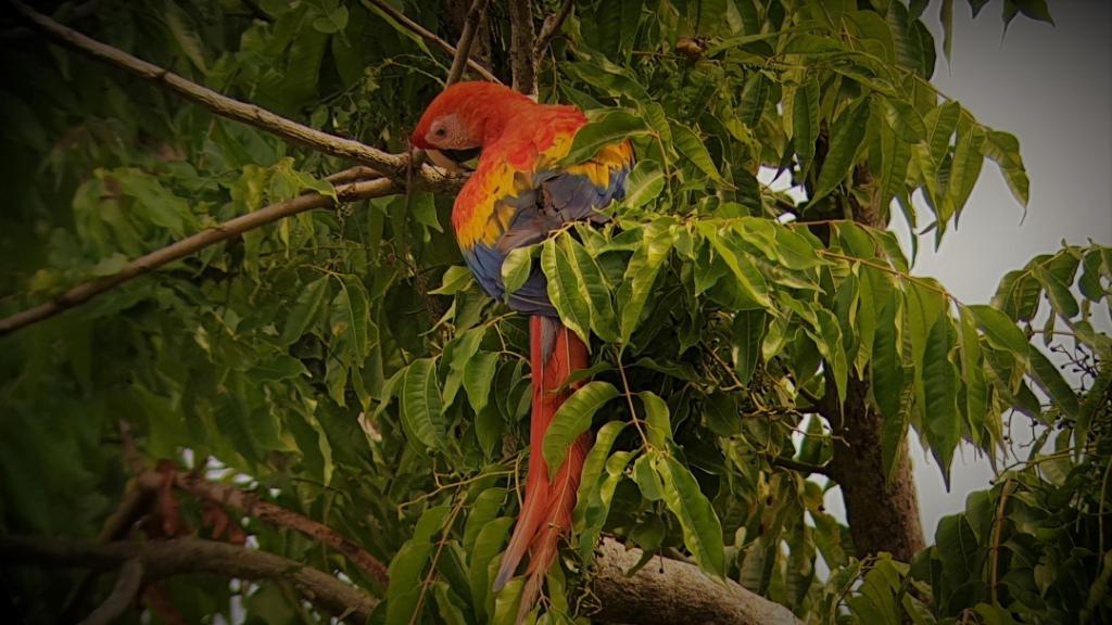costa-rica-parrot corcovado