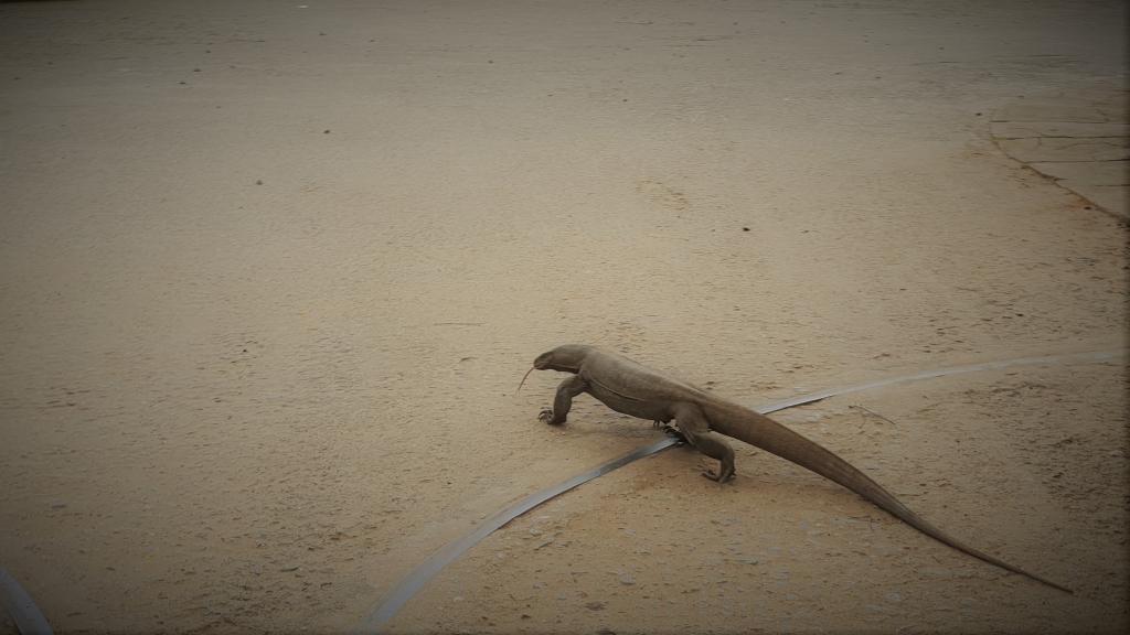 sri lanka kataragama lizard