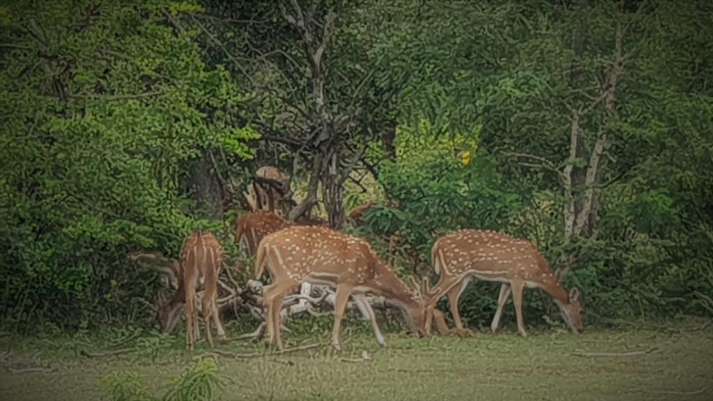 sri lanka kataragama yala park bambi