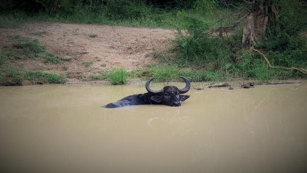 sri lanka kataragama yala park wild water buffalo